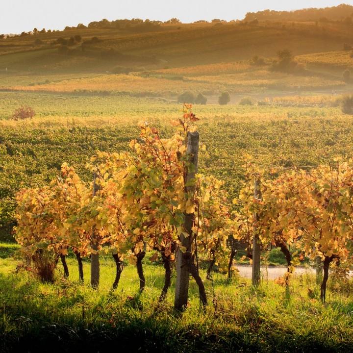 Herbst in den Pfaffstättner Weinbergen
